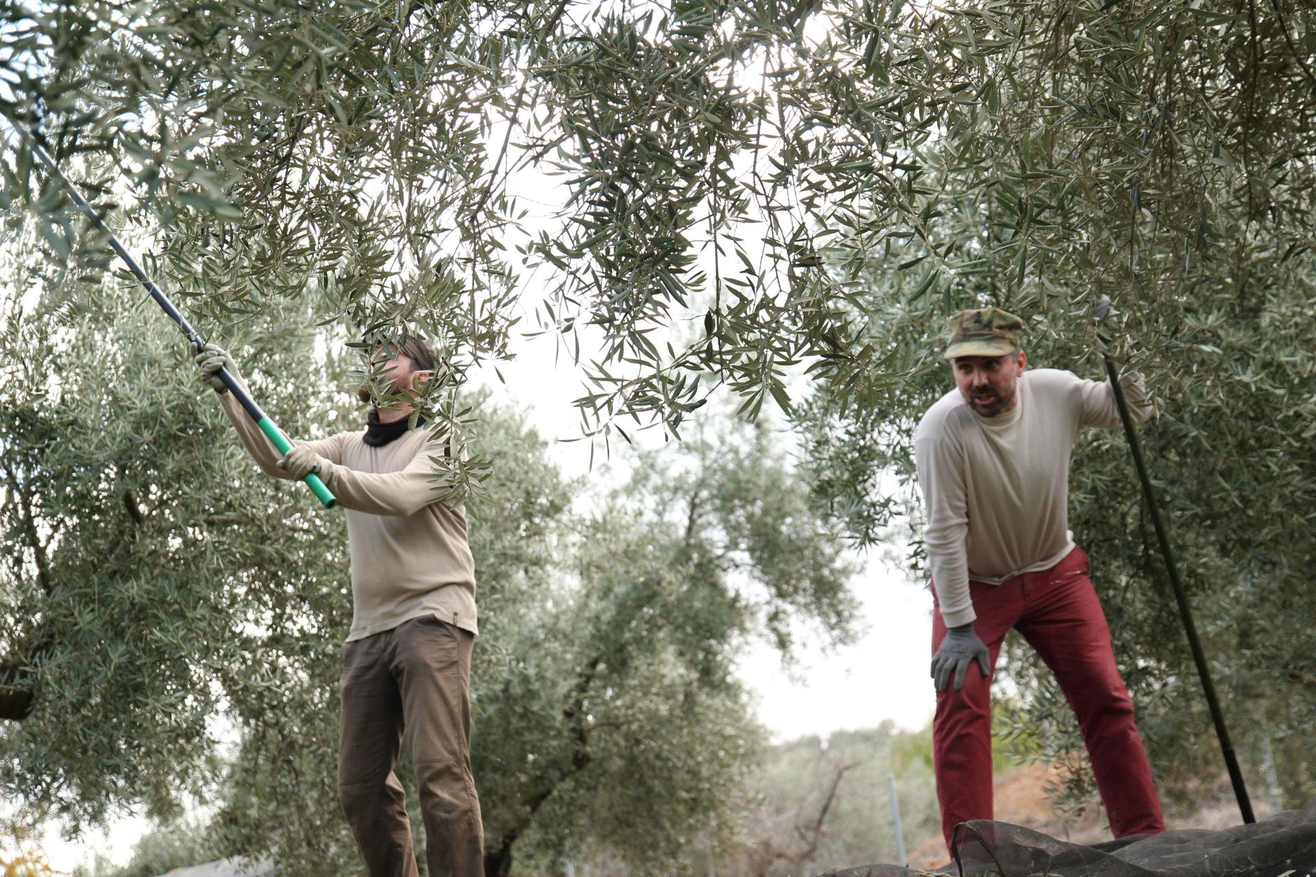 extra oil olive spain andalucia 4